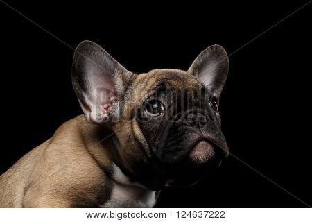Closeup French Bulldog Puppy Pity Face Looking up Front view Isolated on black background