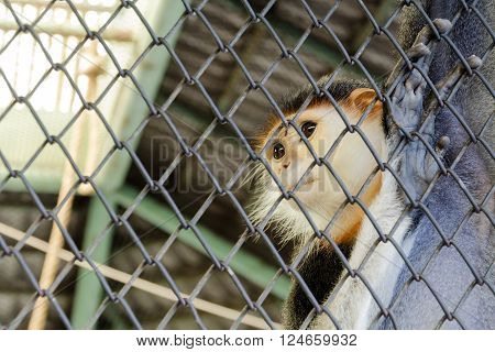 Imprison Petty Red-shanked douc in  the cage