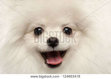 Closeup Furry Happiness White Pomeranian Spitz Dog Curious Smiling in Camera isolated in Front view