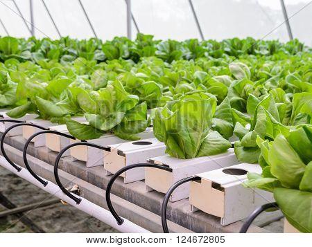 Hydroponic butterhead leaf lettuce vegetables plantation in aquaponics system
