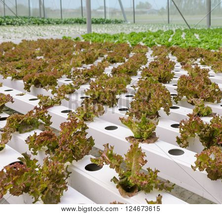Close up of red coral leaf lettuce vegetables plantation