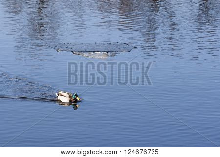 duck swimming in a pond in summer day