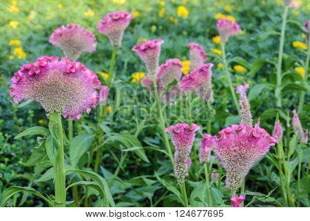 Pink Cockscomb or Celosia cristata flower garden