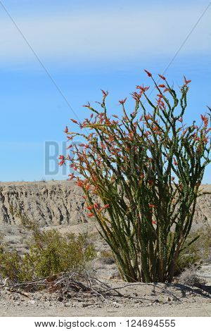 Ocotillo shrub in bloom during spring in the desert of California.