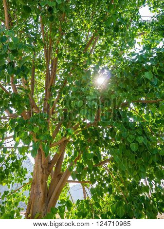 Cordate tree with sun ray in park