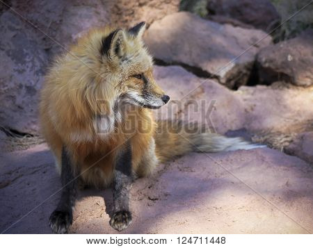 A Close Up Portrait of the Head of a Red Fox Vulpes fulva