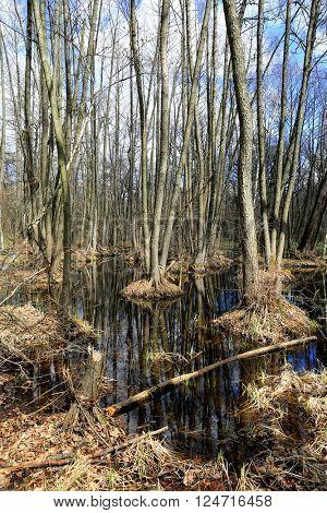 spring landscape in deep forest with bog