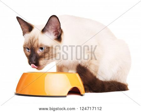 gray thai cat eats dry pet food, isolated on white background