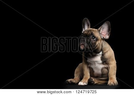 Funny French Bulldog Puppy Cute Sitting and Pity Looking up Front view Isolated on black background