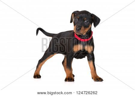 adorable black miniature pinscher puppy on white