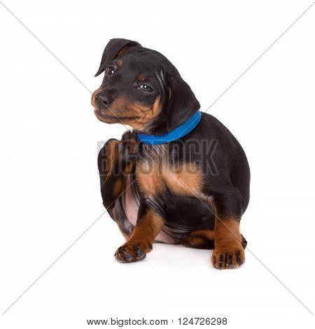 black pinscher puppy itching on white background