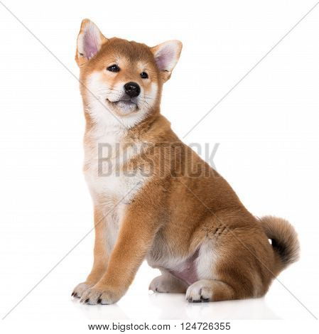 adorable red shiba inu puppy sitting on white