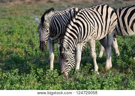 Herd of the damara zebras at sunrise Equus burchelli Etosha national park Namibia