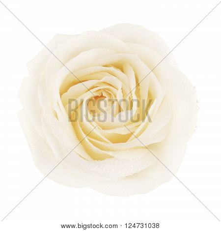single cream rose flower, isolated on white, top view