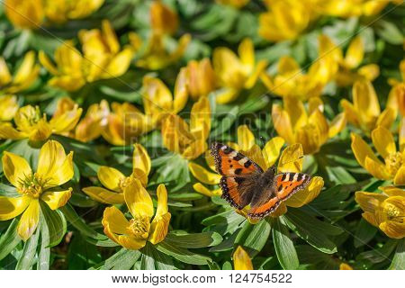 Spring Butterfly in cluster of yellow spring flowers Ranunculus corn buttercup with green leafs bathing in soft sunlight