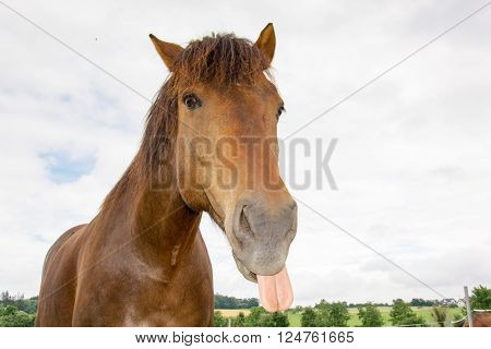 a photo of a nice brown horse sticking out it's tongue