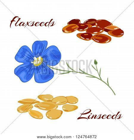 Golden and brown flaxseeds (linseeds). Vector illustration.