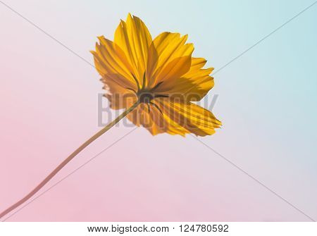 orange color of cosmos flower with pantone colorful filter