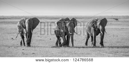 Herd of elephants walkig in Amboseli National park, Kenya, Africa. Black and white image. Panorama.