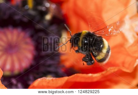 a bumble bee hovering over an orange poppy