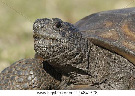 Closeup Of An Endangered Gopher Tortoise