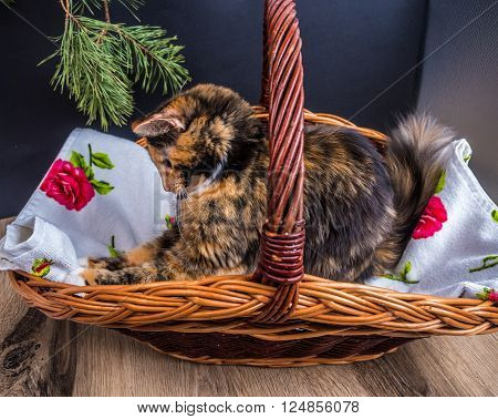 small tri-color cat in the basket posing