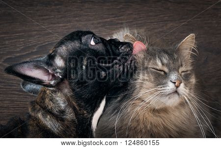 Friendship, love cats and dogs. Black Dog Bulldog, gray and fluffy cat