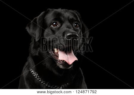 Closeup Portrait of Labrador Dog Kind Looking Front view Isolated on black background poster