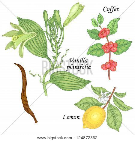 Blooming Vanilla planifolia branch of coffee tree fruit lemon. Set of illustration plants spice fruits and flowers. Isolated image vanilla lemon coffee on white background.