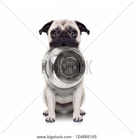 hungry  pug dog holding bowl with mouth