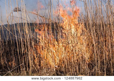 Burning dry grass and reeds. Fire in the reeds.