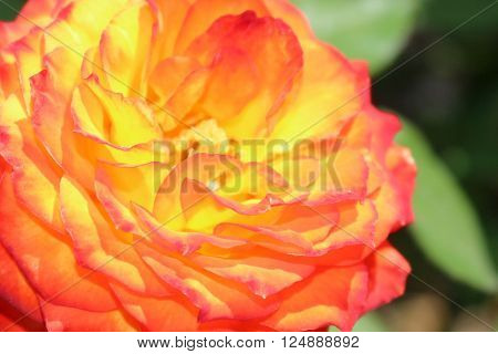 a bright variegated yellow and orange/red rose blossom