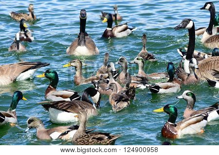Southwest USA Beautiful Ducks and Geese New Mexico birds wild ducks goose and geese waterfowl in the blue green water at the local ponds and lakes