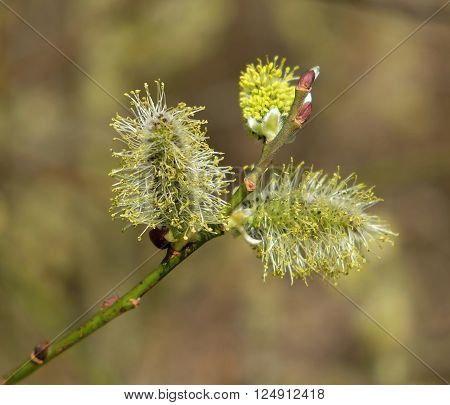 branch of flowering salix in detail in natural habitat with three catkins on spring