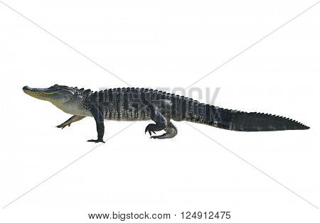 Florida Alligator Isolated on White Background