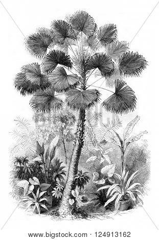 Serre from Jardin des Plantes, Latanier flowers, vintage engraved illustration. Magasin Pittoresque 1857.