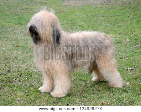 Typical Briard dog (Berger de Brie) in the spring garden