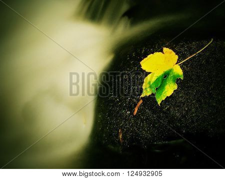 The colorful broken maple leaf fallen on sunken basalt stone in blurred water of mountain stream.