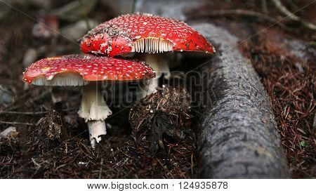 Red poisonous mushrooms in the forest undergrowth