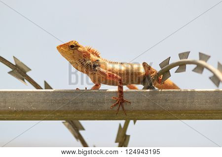 tropical Garden Fence Lizard Calotes versicolor resting on a metal fence on sunny summer day
