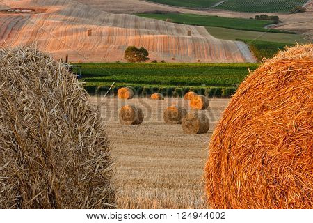 Gray and gold haystacks on fields of Tuscany