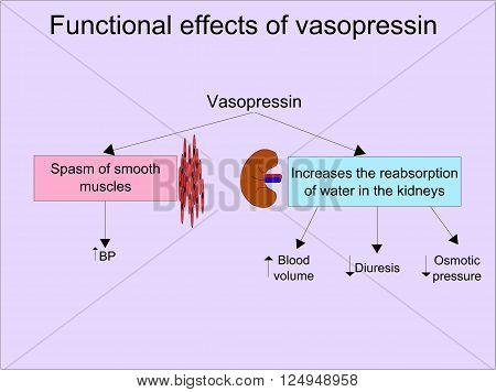 Functional effects of vasopressin (antidiuretic hormone, ADH)