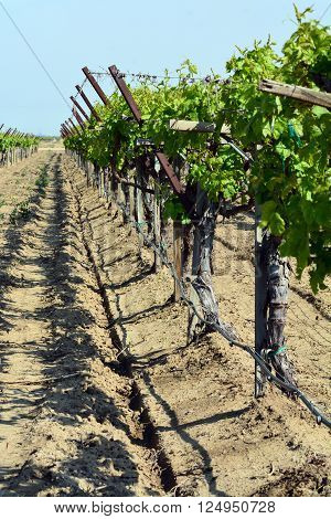 Grape vines in a row in a large field.