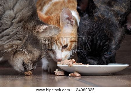 dog and two cats eating together animal feed. Snouts large. Dog French Bulldog, black. Cat large, gray, and a little white cat. Funny, cute animals. snouts large