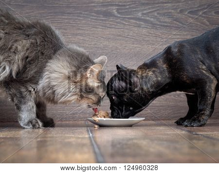 Dog and cat eating together animal feed. Snouts large. Dog French Bulldog, black cat and purebred. Grey and fluffy cat