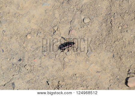 Predatory Beetle Running Through The Grounds