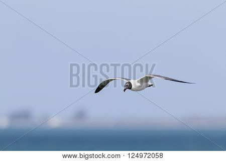 Laughing Gull tilts head during gliding flight poster