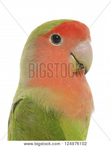 Peach-faced Lovebird in front of white background