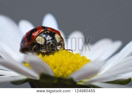 Ladybird or ladybug on a daisy from an Italian garden