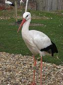 A European White Stork (Ciconia ciconia) at a bird sanctuary poster